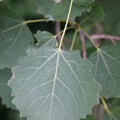 Leaves: Populus tremula. ~ By Robert Vid_ki. ~ Copyright © 2018 CC BY-NC 3.0. ~  ~ Bugwood - www.bugwood.org/