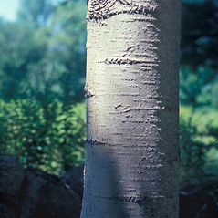Bark: Populus tremuloides. ~ By Frank Bramley. ~ Copyright © 2017 New England Wild Flower Society. ~ Image Request, images[at]newenglandwild.org