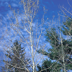 Plant form: Populus tremuloides. ~ By Frank Bramley. ~ Copyright © 2019 New England Wild Flower Society. ~ Image Request, images[at]newenglandwild.org