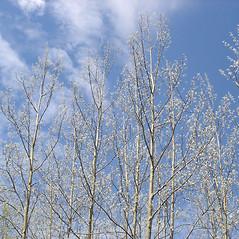 Plant form: Populus tremuloides. ~ By Jill Weber. ~ Copyright © 2018 Jill Weber. ~ jillweber03[at]gmail.com