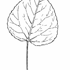 Leaves: Populus tremuloides. ~ By Gordon Morrison. ~ Copyright © 2019 New England Wild Flower Society. ~ Image Request, images[at]newenglandwild.org