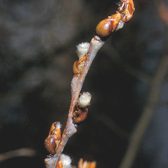 Winter buds: Populus tremuloides. ~ By Frank Bramley. ~ Copyright © 2019 New England Wild Flower Society. ~ Image Request, images[at]newenglandwild.org