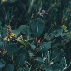 Plant form: Salix arctophila. ~ By Arthur Haines. ~ Copyright © 2017. ~ arthurhaines[at]wildblue.net