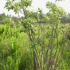 Plant form: Salix bebbiana. ~ By Marilee Lovit. ~ Copyright © 2020 Marilee Lovit. ~ lovitm[at]gmail.com