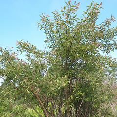 Plant form: Salix bebbiana. ~ By Marilee Lovit. ~ Copyright © 2018 Marilee Lovit. ~ lovitm[at]gmail.com