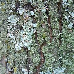 Bark: Salix candida. ~ By Louis-M. Landry. ~ Copyright © 2018 Louis-M. Landry. ~ LM.Landry[at]videotron.ca  ~ CalPhotos - calphotos.berkeley.edu/flora/