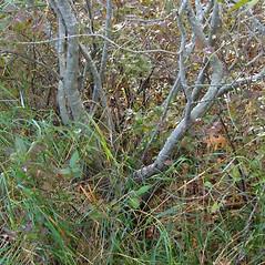 Bark: Salix cinerea. ~ By Alexey Zinovjev. ~ Copyright © 2019. ~ webmaster[at]salicicola.com ~ Salicicola - www.salicicola.com/