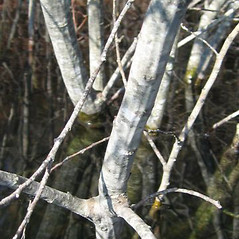 Bark: Salix cinerea. ~ By C. Orreg. ~ Copyright © 2019 New England Wild Flower Society. ~ Image Request, images[at]newenglandwild.org