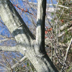 Bark: Salix cinerea. ~ By C. Orreg. ~ Copyright © 2017 New England Wild Flower Society. ~ Image Request, images[at]newenglandwild.org