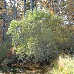 Plant form: Salix cinerea. ~ By Alexey Zinovjev. ~ Copyright © 2019. ~ webmaster[at]salicicola.com ~ Salicicola - www.salicicola.com/