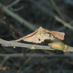 Winter buds: Salix cinerea. ~ By Alexey Zinovjev. ~ Copyright © 2019. ~ webmaster[at]salicicola.com ~ Salicicola - www.salicicola.com/