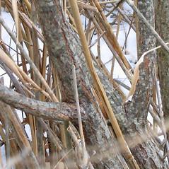Bark: Salix discolor. ~ By Alexey Zinovjev. ~ Copyright © 2018. ~ webmaster[at]salicicola.com ~ Salicicola - www.salicicola.com/