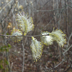 Flowers: Salix discolor. ~ By Arthur Haines. ~ Copyright © 2020. ~ arthurhaines[at]wildblue.net