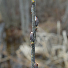 Winter buds: Salix discolor. ~ By Arthur Haines. ~ Copyright © 2019. ~ arthurhaines[at]wildblue.net