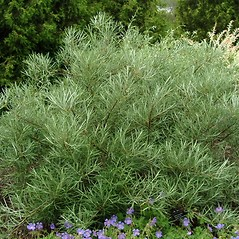 Plant form: Salix elaeagnos. ~ By Paul S. Drobot. ~ Copyright © 2017 Paul S. Drobot. ~ www.plantstogrow.com, www.plantstockphotos.com ~ Robert W. Freckmann Herbarium, U. of Wisconsin-Stevens Point