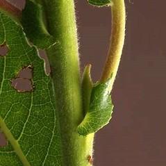 Bark: Salix eriocephala. ~ By Andrew Nelson. ~ Copyright © 2018 Andrew Nelson. ~ andrew.nelson[at]oswego.edu   ~ New York Flora Atlas - newyork.plantatlas.usf.edu
