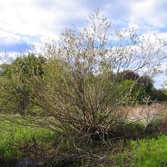 Plant form: Salix eriocephala. ~ By Alexey Zinovjev. ~ Copyright © 2018. ~ webmaster[at]salicicola.com ~ Salicicola - www.salicicola.com/