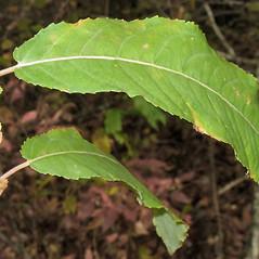 Leaves: Salix eriocephala. ~ By Alexey Zinovjev. ~ Copyright © 2018. ~ webmaster[at]salicicola.com ~ Salicicola - www.salicicola.com/