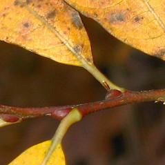 Winter buds: Salix humilis. ~ By Alexey Zinovjev. ~ Copyright © 2020. ~ webmaster[at]salicicola.com ~ Salicicola - www.salicicola.com/