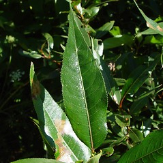 Leaves: Salix lucida. ~ By Arthur Haines. ~ Copyright © 2020. ~ arthurhaines[at]wildblue.net