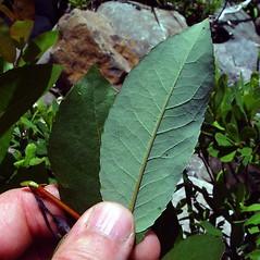 Leaves: Salix myricoides. ~ By Arthur Haines. ~ Copyright © 2018. ~ arthurhaines[at]wildblue.net