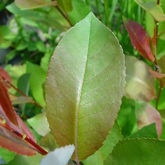 Leaves: Salix myricoides. ~ By Arthur Haines. ~ Copyright © 2019. ~ arthurhaines[at]wildblue.net