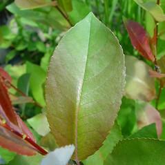 Leaves: Salix myricoides. ~ By Arthur Haines. ~ Copyright © 2020. ~ arthurhaines[at]wildblue.net