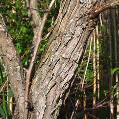 Bark: Salix nigra. ~ By Alexey Zinovjev. ~ Copyright © 2017. ~ webmaster[at]salicicola.com ~ Salicicola - www.salicicola.com/