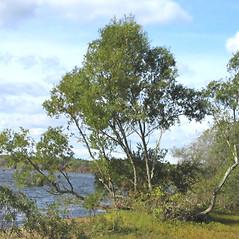 Plant form: Salix nigra. ~ By Alexey Zinovjev. ~ Copyright © 2017. ~ webmaster[at]salicicola.com ~ Salicicola - www.salicicola.com/