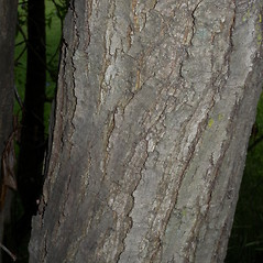 Bark: Salix pentandra. ~ By John Hilty. ~ Copyright © 2020 John Hilty. ~ john[at]illinoiswildflowers.info ~ Illinois Wildflowers - www.illinoiswildflowers.info/index.htm