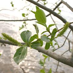 Flowers: Salix pentandra. ~ By Steve Garske. ~ Copyright © 2019 Steve Garske. ~ asimina[at]alphacomm.net