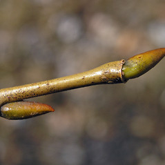 Winter buds: Salix pentandra. ~ By Bruce Patterson. ~ Copyright © 2018 Bruce Patterson. ~ foxpatterson[at]comcast.net