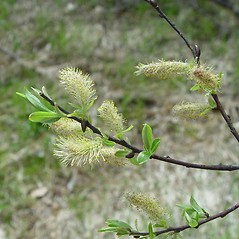 Flowers: Salix petiolaris. ~ By Arthur Haines. ~ Copyright © 2019. ~ arthurhaines[at]wildblue.net