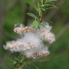 Fruits: Salix purpurea. ~ By Robert Vid_ki. ~ Copyright © 2018 CC BY-NC 3.0. ~  ~ Bugwood - www.bugwood.org/