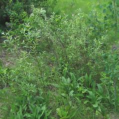 Plant form: Salix sericea. ~ By Alexey Zinovjev. ~ Copyright © 2018. ~ webmaster[at]salicicola.com ~ Salicicola - www.salicicola.com/