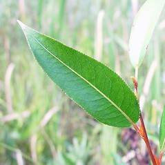 Leaves: Salix serissima. ~ By Arthur Haines. ~ Copyright © 2019. ~ arthurhaines[at]wildblue.net