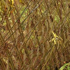 Bark: Salix viminalis. ~ By Henriette Kress. ~ Copyright © 2019 Photo copyright Henriette Kress, http://www.henriettesherbal.com. ~  ~ www.henriettesherbal.com