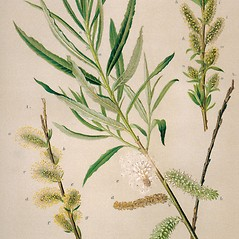 Plant form: Salix viminalis. ~ By Zelimir Borzan. ~ Copyright © 2019 CC BY-NC 3.0. ~  ~ Bugwood - www.bugwood.org/