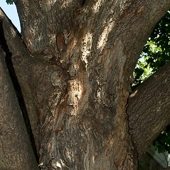 Bark: Acer campestre. ~ By Paul S. Drobot. ~ Copyright © 2018 Paul S. Drobot. ~ www.plantstogrow.com, www.plantstockphotos.com ~ Robert W. Freckmann Herbarium, U. of Wisconsin-Stevens Point