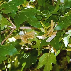 Fruits: Acer campestre. ~ By Paul S. Drobot. ~ Copyright © 2018 Paul S. Drobot. ~ www.plantstogrow.com, www.plantstockphotos.com ~ Robert W. Freckmann Herbarium, U. of Wisconsin-Stevens Point