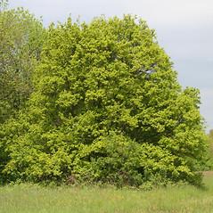 Plant form: Acer campestre. ~ By Robert Vid_ki. ~ Copyright © 2017 CC BY-NC 3.0. ~  ~ Bugwood - www.bugwood.org/