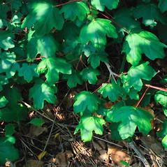 Leaves: Acer campestre. ~ By Alexey Zinovjev. ~ Copyright © 2018. ~ webmaster[at]salicicola.com ~ Salicicola - www.salicicola.com/