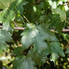 Leaves: Acer campestre. ~ By Paul S. Drobot. ~ Copyright © 2019 Paul S. Drobot. ~ www.plantstogrow.com, www.plantstockphotos.com ~ Robert W. Freckmann Herbarium, U. of Wisconsin-Stevens Point