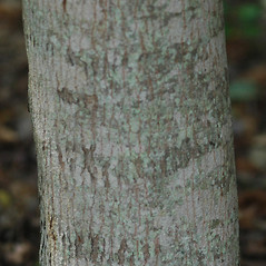 Bark: Acer ginnala. ~ By Karan Rawlins. ~ Copyright © 2018 CC BY-NC 3.0. ~  ~ Bugwood - www.bugwood.org/