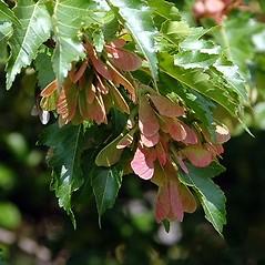 Fruits: Acer ginnala. ~ By Paul S. Drobot. ~ Copyright © 2020 Paul S. Drobot. ~ www.plantstogrow.com, www.plantstockphotos.com ~ Robert W. Freckmann Herbarium, U. of Wisconsin-Stevens Point