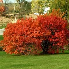Plant form: Acer ginnala. ~ By Paul S. Drobot. ~ Copyright © 2020 Paul S. Drobot. ~ www.plantstogrow.com, www.plantstockphotos.com ~ Robert W. Freckmann Herbarium, U. of Wisconsin-Stevens Point