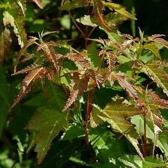 Leaves: Acer ginnala. ~ By Paul S. Drobot. ~ Copyright © 2020 Paul S. Drobot. ~ www.plantstogrow.com, www.plantstockphotos.com ~ Robert W. Freckmann Herbarium, U. of Wisconsin-Stevens Point