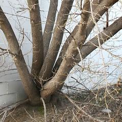 Bark: Acer negundo. ~ By Arieh Tal. ~ Copyright © 2020 Arieh Tal. ~ http://botphoto.com/ ~ Arieh Tal - botphoto.com
