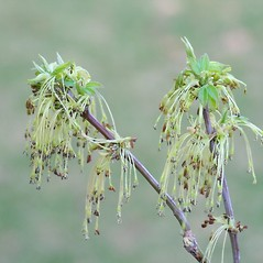 Flowers: Acer negundo. ~ By Arieh Tal. ~ Copyright © 2020 Arieh Tal. ~ http://botphoto.com/ ~ Arieh Tal - botphoto.com