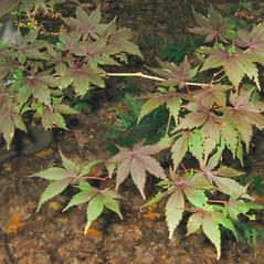 Leaves: Acer palmatum. ~ By Alexey Zinovjev. ~ Copyright © 2017. ~ webmaster[at]salicicola.com ~ Salicicola - www.salicicola.com/